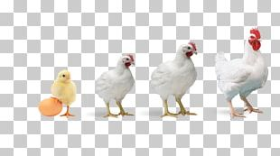 Broiler Chicken Poultry Farming Poultry Feed PNG