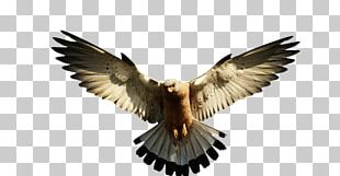 Bald Eagle Portable Network Graphics PNG