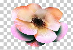 Magnolia Rose Family PNG