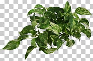 Devil's Ivy Common Ivy Vine Houseplant PNG
