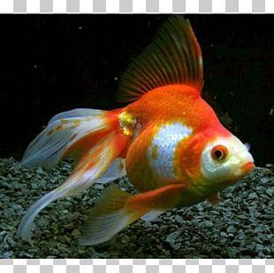 Ryukin Veiltail Common Goldfish Shubunkin Oranda PNG