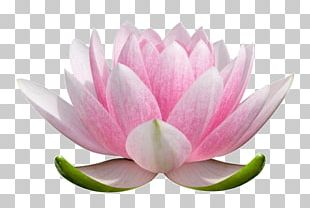 Nelumbo Nucifera Flower Stock Photography Nymphaea Lotus Plant Symbolism PNG
