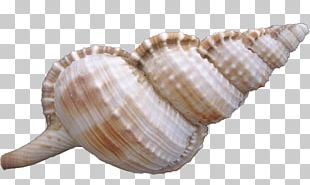 Cockle Sea Snail Seashell PNG