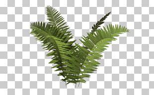 Ostrich Fern Plant Tree Fern Ecology PNG