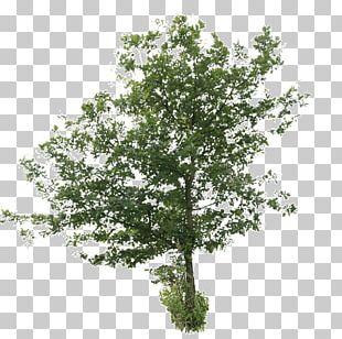 Oak Tree Plants Birch PNG