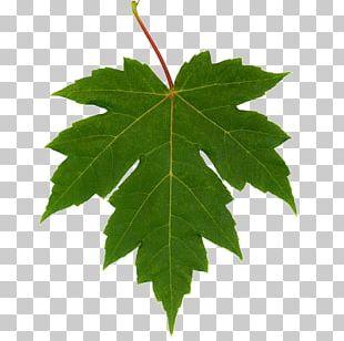 Autumn Leaf Color Maple Leaf Chestnut Oak PNG