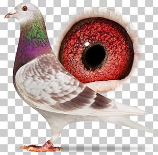 Homing Pigeon Racing Homer Columbidae American Show Racer Bird PNG