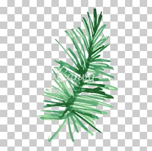 Pine Fir Leaf Plant Watercolor Painting PNG