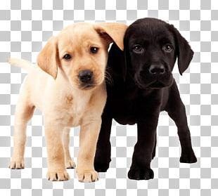 Labrador Retriever Puppy Stock Photography Dog Breed PNG