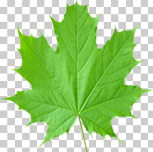 Maple Leaf Sugar Maple Acer Shirasawanum PNG
