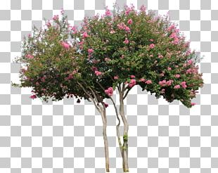 Woody Plant Tree Flower Shrub PNG