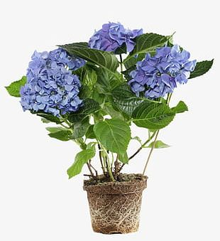 Potted Purple Flowers PNG