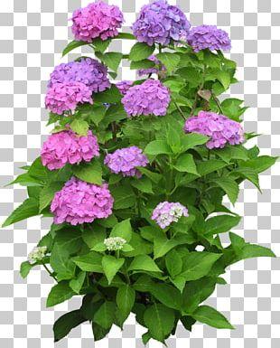Climbing Hydrangea Houseplant Flower Garden PNG