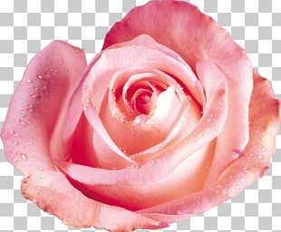 Beach Rose Flower Red Color Dew PNG