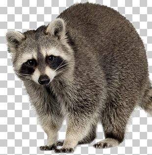 Raccoon Squirrel Feral Cat Rodent PNG