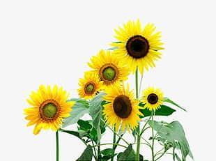 Painted Sunflowers PNG