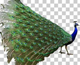 Asiatic Peafowl Indian Roller Bird Green Peafowl PNG
