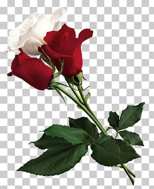 Rose White Flower Red PNG