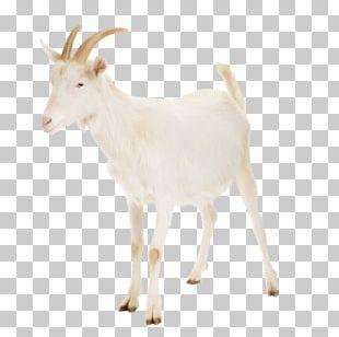 Nigerian Dwarf Goat Cattle Rove Goat Russian White Goat Livestock PNG