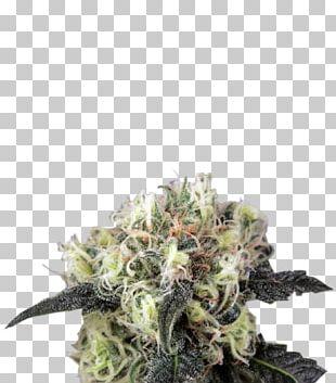 Cannabis Sativa Skunk Kush Autoflowering Cannabis PNG