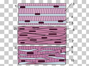 Smooth Muscle Tissue Skeletal Muscle Cardiac Muscle PNG