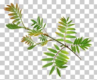 Leaf Watercolor Painting Flower Plant Stem Art PNG