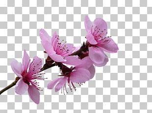 Blossom Flower Petal Blue Rose PNG