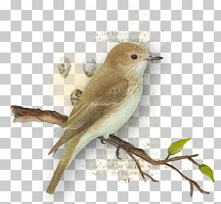 Common Nightingale Bird Finch American Sparrows Beak PNG