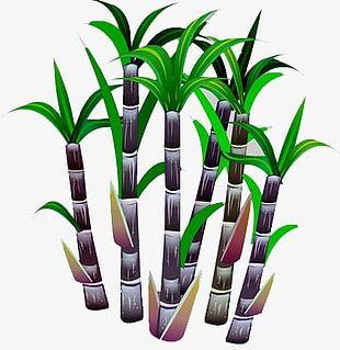 Sugar Cane PNG