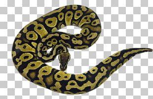 Boa Constrictor Hognose Snake Ball Python Rattlesnake PNG