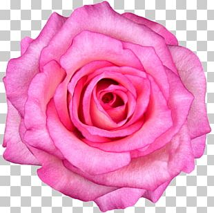 Rose Stock Photography Pink Flowers PNG