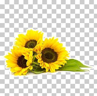 Common Sunflower Organic Food Sunflower Oil Sunflower Seed PNG