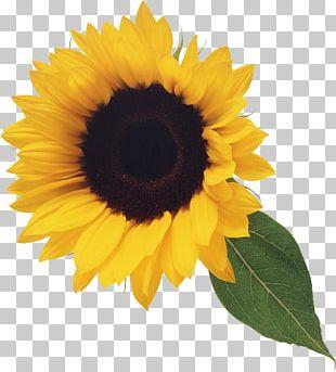 Common Sunflower Blog PNG