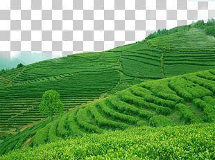 Green Tea Longjing Tea Biluochun Kuding PNG