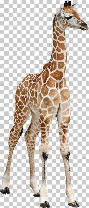 Reticulated Giraffe Calf Masai Giraffe Baby Giraffes Okapi PNG