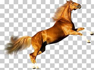 Mustang Andalusian Horse Arabian Horse American Quarter Horse Percheron PNG