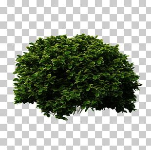 Shrub Tree Evergreen Bridal-wreaths PNG