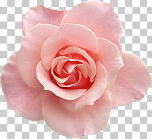 Rose Pink Flowers Pink Flowers PNG
