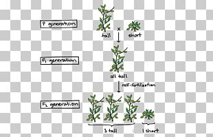 Experiments On Plant Hybridization Mendelian Inheritance Pea Genetics PNG