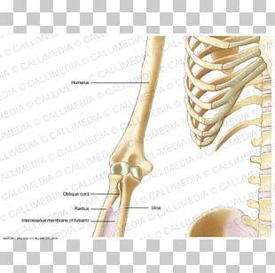 Human Skeleton Nerve Nervous System Anatomy Arm PNG