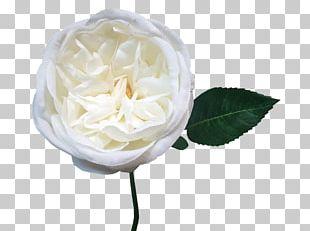 Centifolia Roses Garden Roses Cut Flowers Petal Cape Jasmine PNG