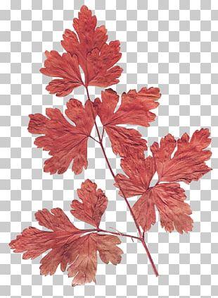Maple Leaf Flower Herbarium PNG
