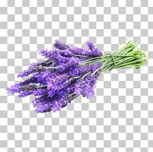 English Lavender Lavender Oil Essential Oil Flower PNG