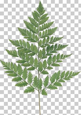 Fern Leaf Watercolor Painting Photography PNG