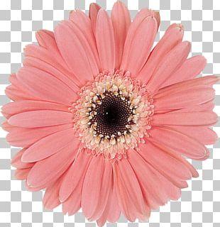 Transvaal Daisy Cut Flowers Common Daisy Petal PNG