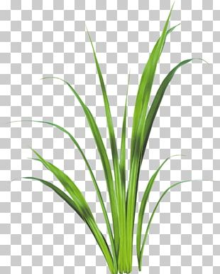 Sweet Grass Lemongrass Plant Stem Leaf Aquarium PNG