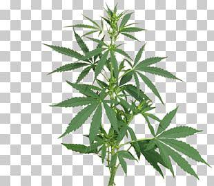 Medical Cannabis Cannabis Sativa Cannabis Cultivation Legality Of Cannabis PNG