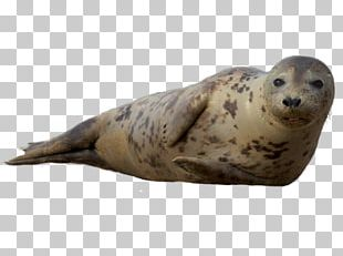 Earless Seal Sea Lion Harbor Seal Grey Seal Ringed Seal PNG