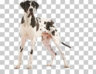 Old Danish Pointer Auvergne Pointer Great Dane Dog Breed PNG