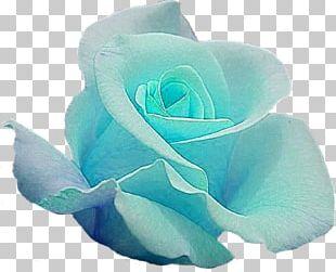 Blue Rose Garden Roses Cut Flowers PNG